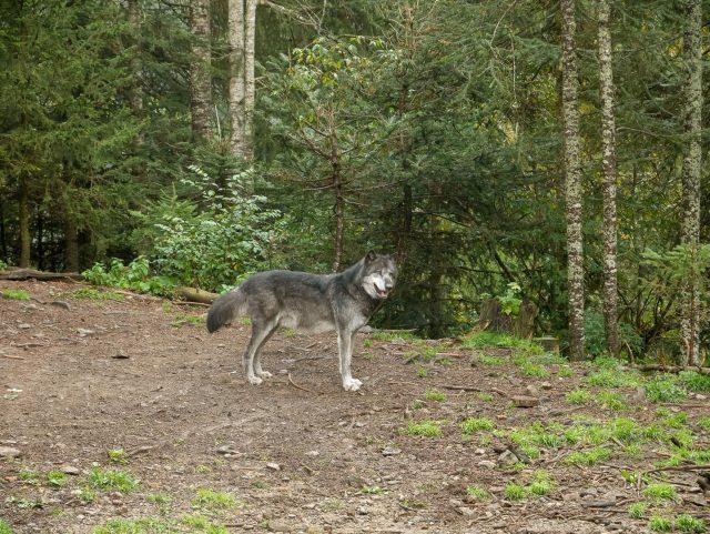 Uno dei lupi che vivono in semi-libertà all'interno del Parco Alpha